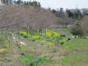長津川緑地の菜の花 その2