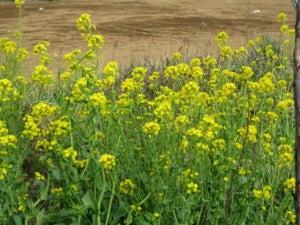 長津川緑地の菜の花 その1